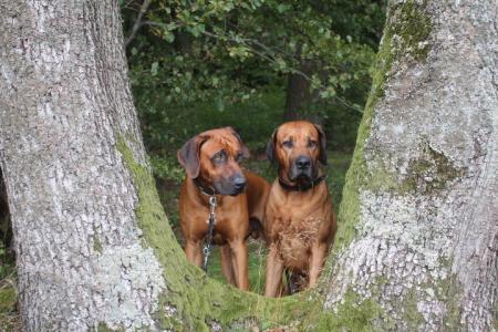 Unsere zwei Red Wheaten genießen den Wald